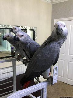 Female African Grey Parrot for Sale