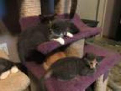 Adopt Rory 3 a Dilute Tortoiseshell, Siamese