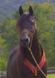 Egyptian Arabian, German Import, Homozygous Black, Clean Pedigree