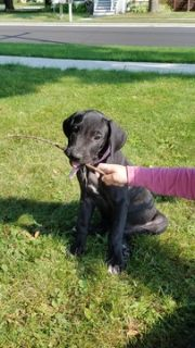 Great Dane PUPPY FOR SALE ADN-90642 - Reduced Great Dane Pups ONLY 2 left Black
