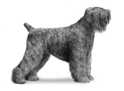 Black Russian Terrier Puppies