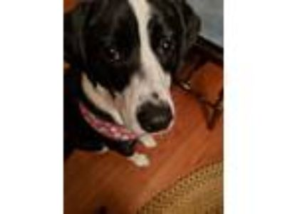 Adopt Minnie a Black - with White Beagle / English Springer Spaniel / Mixed dog