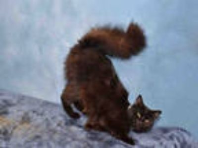Adopt *STARLIGHT a All Black Domestic Mediumhair / Mixed (medium coat) cat in