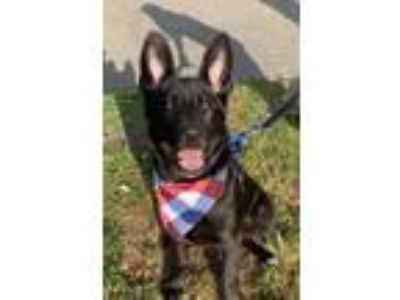 Adopt Biscuit a German Shepherd Dog