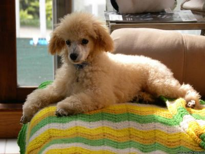Poodle Toy Male