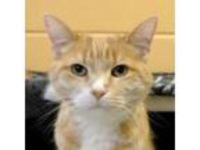 Adopt Tartan a Orange or Red Domestic Shorthair / Domestic Shorthair / Mixed cat