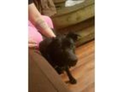 Adopt ZCL Dixie-Belle a Black Labrador Retriever / Terrier (Unknown Type