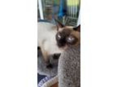 Adopt Jewel a Brown or Chocolate Siamese (short coat) cat in Wilmington