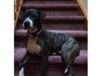 Adopt Roxie a American Staffordshire Terrier, Labrador Retriever