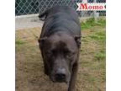 Adopt Momo a Black - with White American Pit Bull Terrier / Mixed dog in Forney