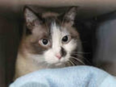 Adopt LOUISE a Brown or Chocolate (Mostly) Snowshoe / Mixed (short coat) cat in