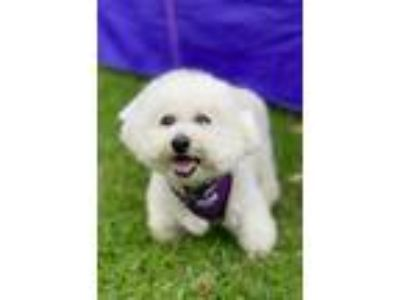Adopt Sophie a White Bichon Frise / Poodle (Miniature) / Mixed dog in Placentia