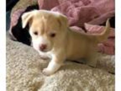 Adopt Marlboro, A handsome puppy born on the range in Corona CA