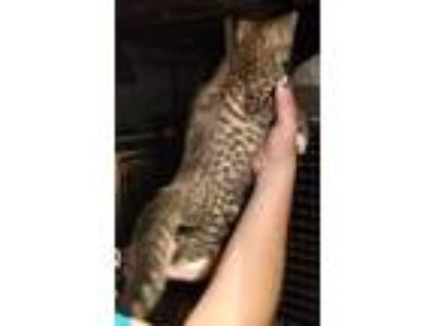 Adopt Spot lol a Spotted Tabby/Leopard Spotted Domestic Shorthair (short coat)