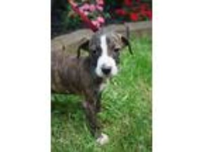 Adopt Bayley a Brindle - with White Boxer / Beagle / Mixed dog in Newark