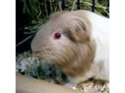 Adopt Megan a Tan or Beige Guinea Pig (short coat) small animal in Jefferson