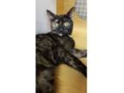 Adopt Daisy a Black (Mostly) Domestic Shorthair / Mixed cat in Youngsville