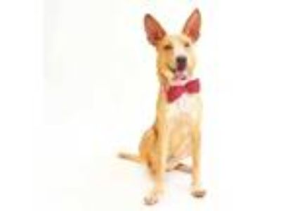 Adopt BINGO a Tan/Yellow/Fawn - with White Carolina Dog / Mixed dog in Orlando