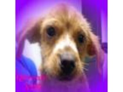 Adopt Queenie a Golden Retriever, Terrier