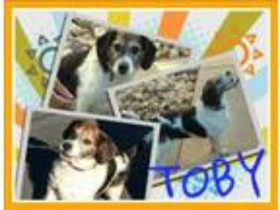 Adopt Tobey3A a Beagle / Mixed dog in Fort Collins, CO (18934236)