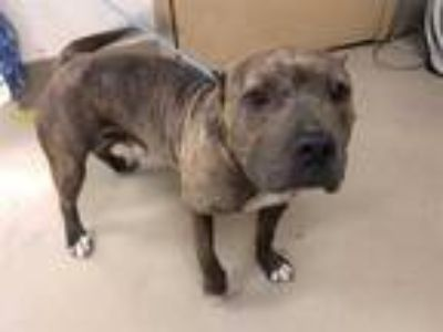 Adopt *RALPHI a Brindle - with White American Pit Bull Terrier / Mixed dog in
