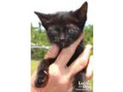 Adopt Yada a Black (Mostly) Domestic Shorthair / Mixed (short coat) cat in