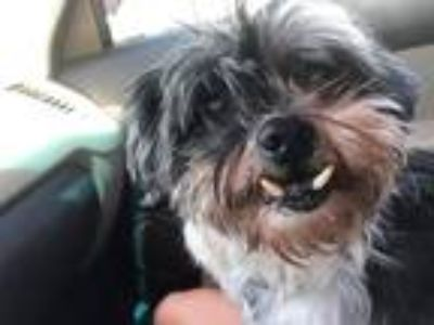 Adopt Dori a Black - with Gray or Silver Shih Tzu / Mixed dog in Ogden