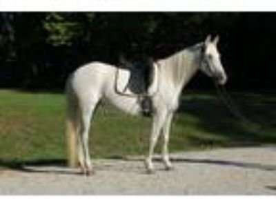 Fresian Cross Mare For sale