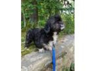 Adopt Biscuit a Lhasa Apso