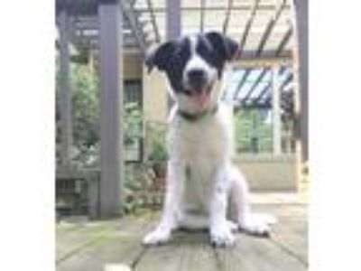 Adopt JENNY a White - with Black Border Collie / Mixed dog in Memphis
