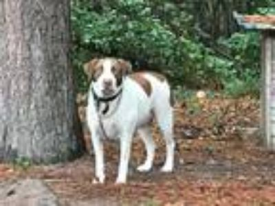 Adopt Clayto a White - with Brown or Chocolate German Shorthaired Pointer /