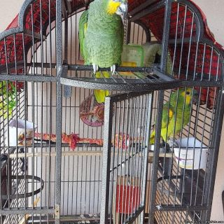 Get this adorable Amazon parrots for an incredibly affordable fee