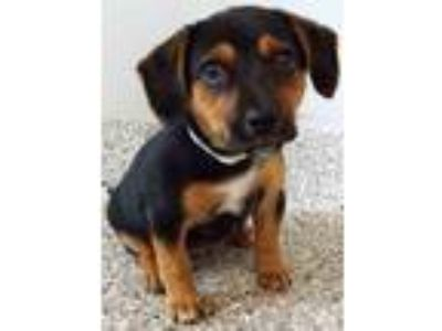 Adopt Jilly a Black - with Tan, Yellow or Fawn Dachshund / Mixed dog in