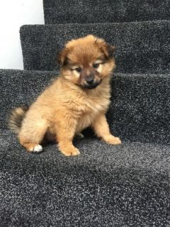 Ready Cute Pomeranian Available.