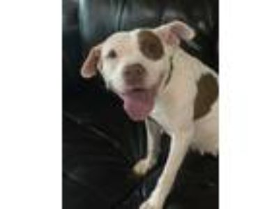 Adopt Relei a White - with Brown or Chocolate American Pit Bull Terrier / Mixed