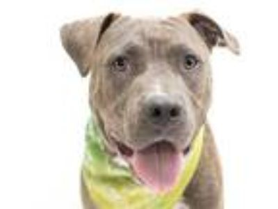 Adopt BALON a Brindle - with White American Pit Bull Terrier / Mixed dog in