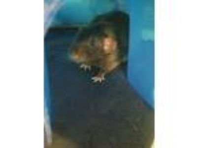 Adopt Chestnut a Rat small animal in Stratham, NH (25868837)