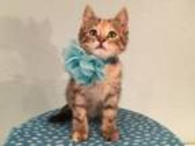 Adopt Marmalade a Domestic Short Hair