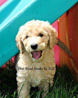 Adorable Goldendoodle Puppies
