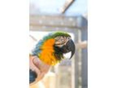Adopt Roscoe a Macaw