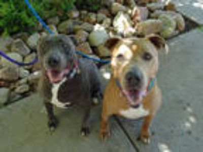 Adopt GEORGE a Tan/Yellow/Fawn - with White American Pit Bull Terrier / Mixed
