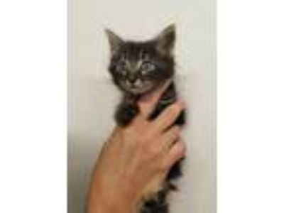 Adopt Gavin a Domestic Short Hair
