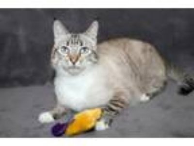 Adopt Mohito a Domestic Short Hair, Siamese