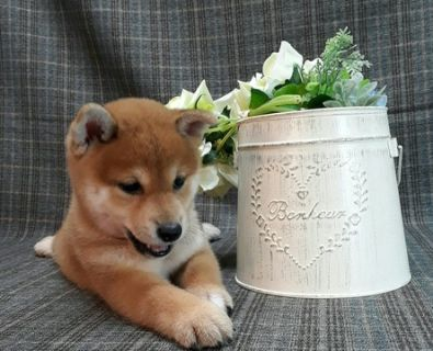 Shiba Inu PUPPY FOR SALE ADN-100094 - Champion level Red Shiba Inu LA SF SD NY SEA CHI
