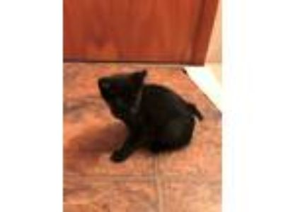 Adopt MaggieCP a Black (Mostly) Domestic Shorthair (short coat) cat in Carlisle