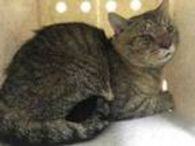 Adopt *WORF a Gray or Blue Domestic Shorthair / Mixed (short coat) cat in