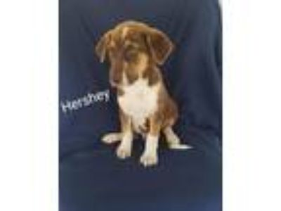 Adopt Hershey a Brown/Chocolate - with Tan Australian Shepherd / Border Collie /