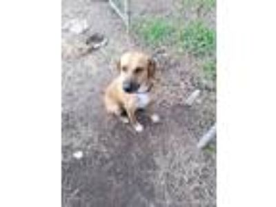 Adopt Stormy a Brown/Chocolate - with Tan Hound (Unknown Type) / Mixed Breed