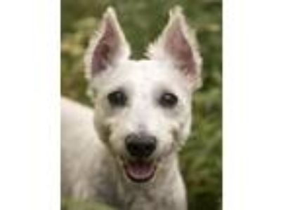 Adopt Murphy a White Schnauzer (Miniature) / Mixed dog in Chicago, IL (25740259)