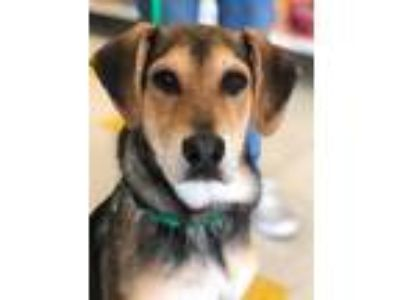 Adopt Zeke Robinson a Tricolor (Tan/Brown & Black & White) Shepherd (Unknown